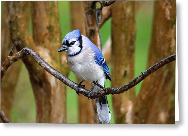 Blue Jay On A Branch Greeting Card by Trina Ansel