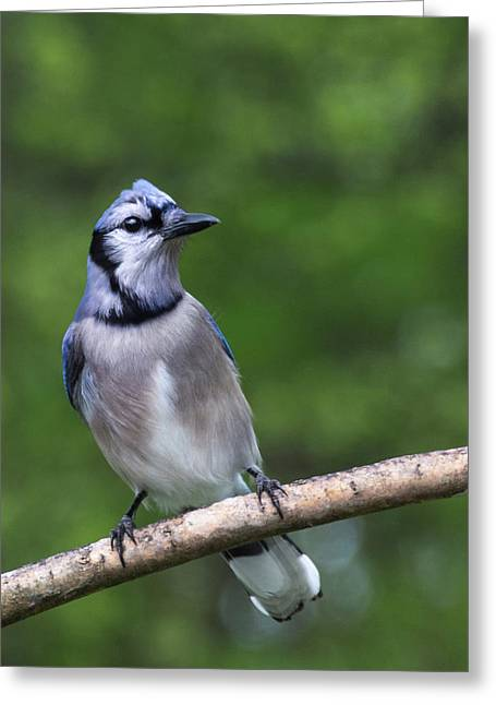 Blue Jay On Alert Greeting Card