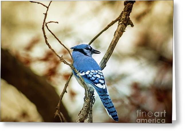 Blue Jay Greeting Card by Robert Frederick