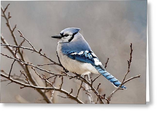 Blue Jay Way Greeting Card by Lara Ellis