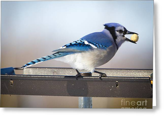 Blue Jay With A Mouth Full Greeting Card