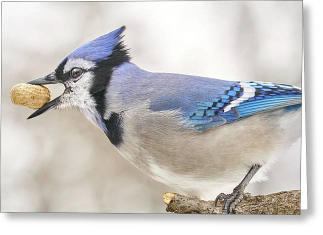 Blue Jay With Peanut, In January Greeting Card