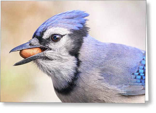 Blue Jay With Peanut Greeting Card