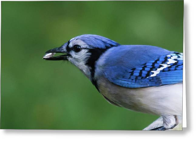 Blue Jay With Seed Greeting Card