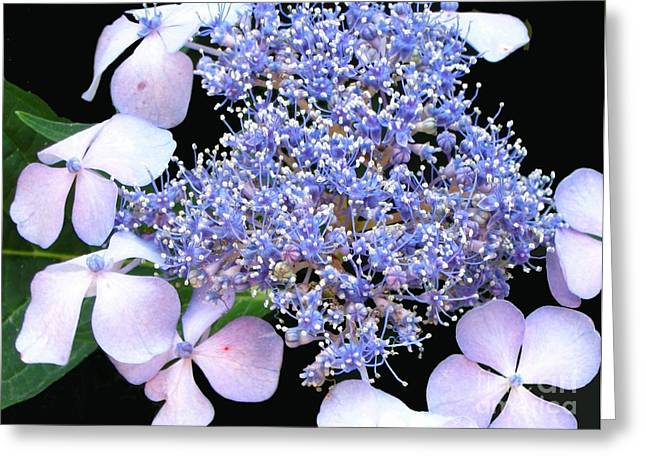 Blue Lace-cap Hydrangea Greeting Card by Linda Vespasian