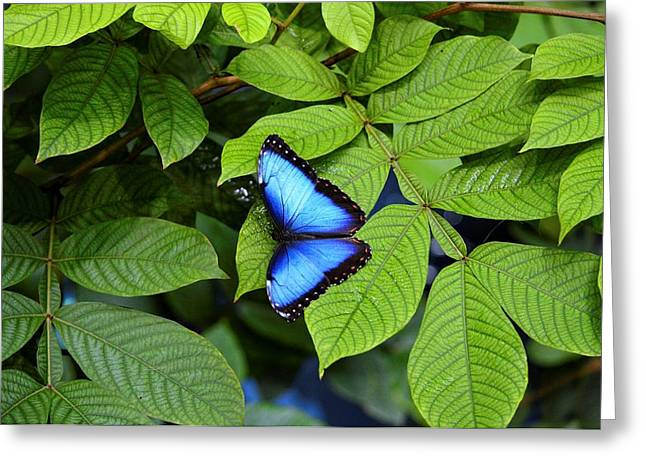Blue Leaves - Morpho Butterfly Greeting Card
