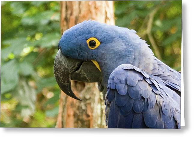 Blue Macaw Greeting Card