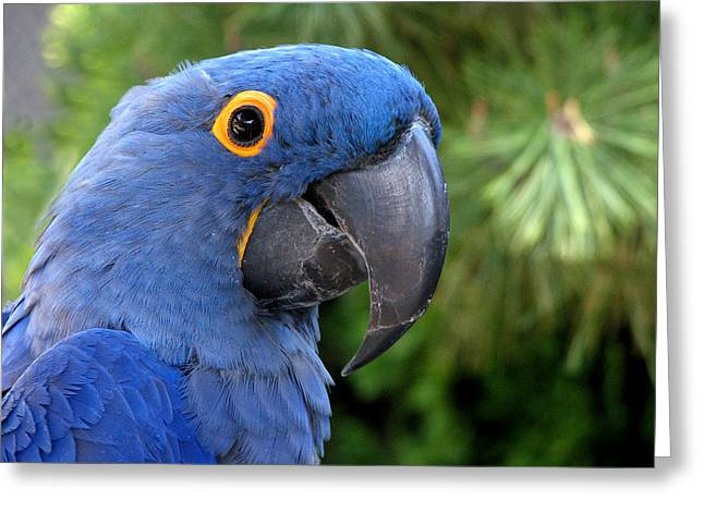 Blue Macaw Parrot Greeting Card
