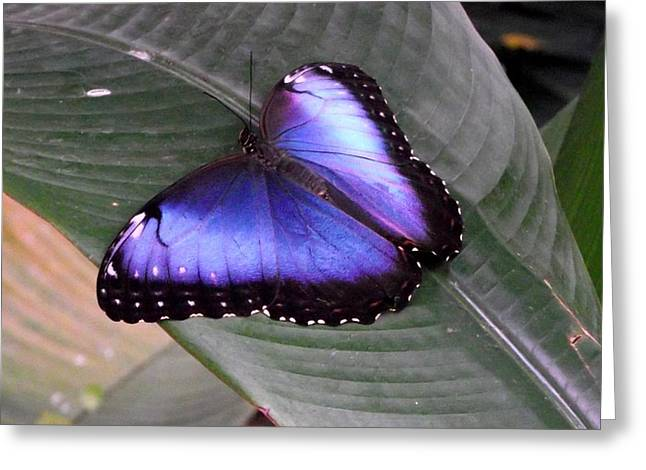 Blue Morph Greeting Card by David and Lynn Keller