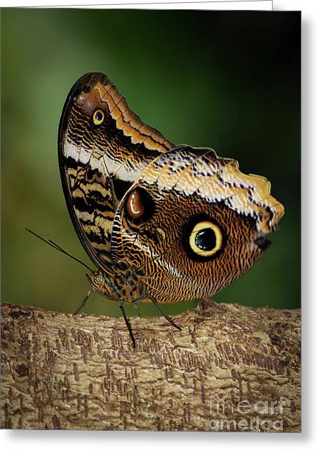 Blue Morpho Butterfly Cecil B Day Butterfly Center Art Greeting Card by Reid Callaway