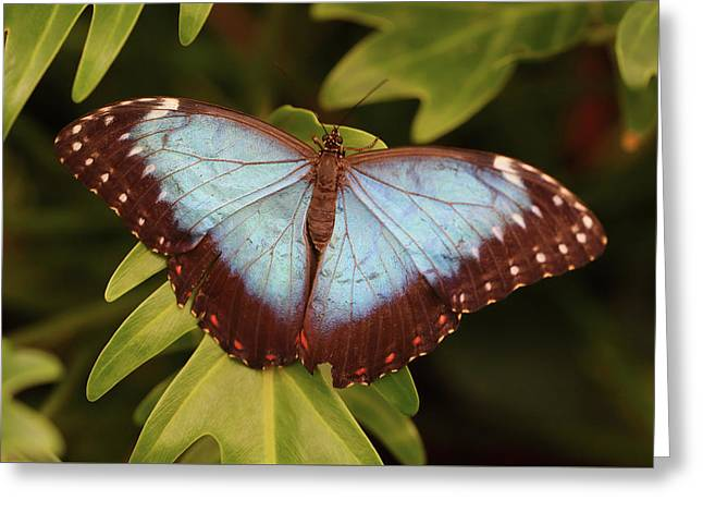 Blue Morpho Butterfly From Above Greeting Card