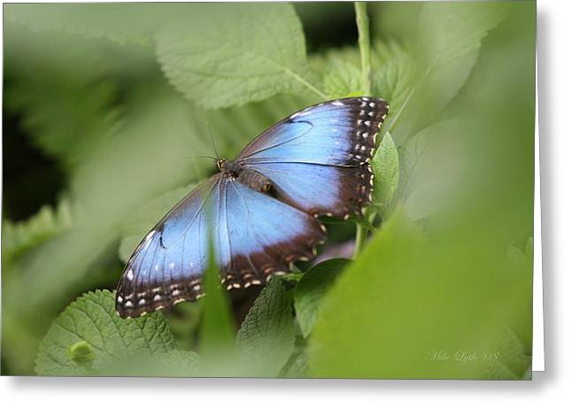 Blue Morpho Butterfly Greeting Card by Mike Lytle