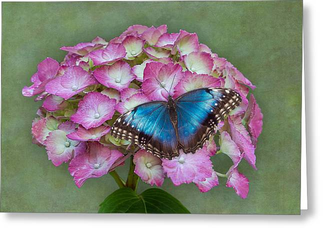 Blue Morpho Butterfly On Pink Hydrangea Greeting Card