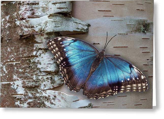 Greeting Card featuring the photograph Blue Morpho Butterfly On White Birch Bark by Patti Deters