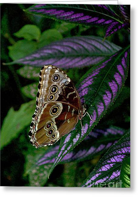 Blue Morpho Butterfly Greeting Card by Skip Willits