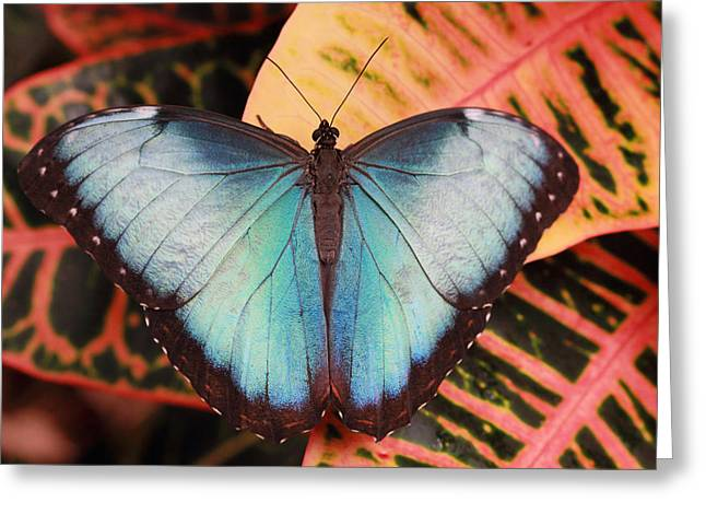Blue Morpho On Orange Leaf Greeting Card
