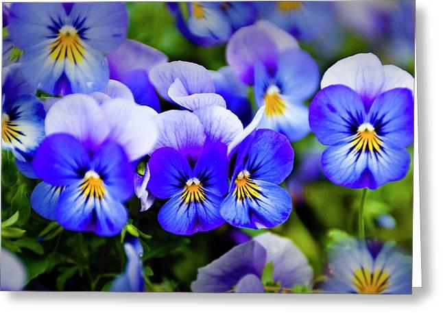 Blue Pansies Greeting Card by Tamyra Ayles