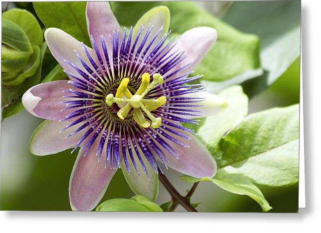 Blue Passion Flower #1 Greeting Card by Denise Woldring