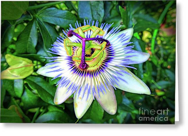 Blue Passion Flower Greeting Card by Sue Melvin