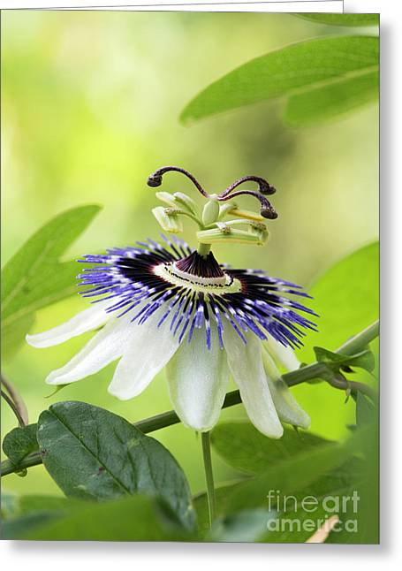 Blue Passion Flower Greeting Card