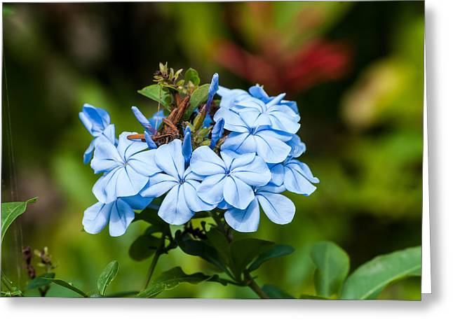 Blue Peddles Greeting Card