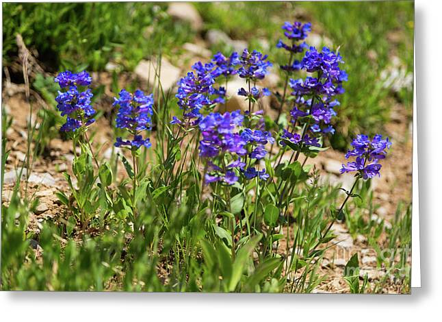 Blue Penstemon Wildflowers Greeting Card