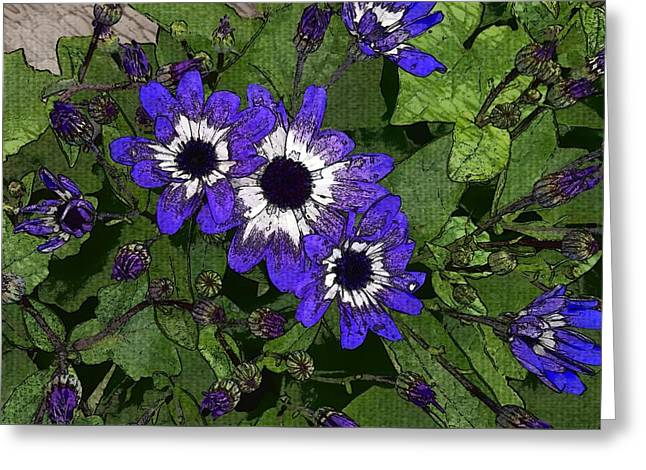 Blue Pericallis Senetti Greeting Card by Mina Thompson