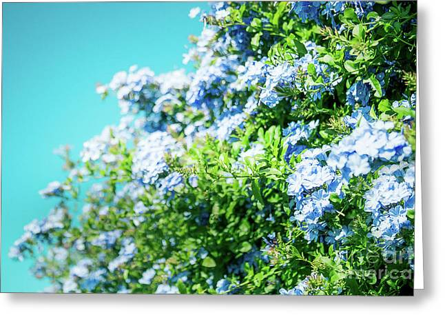 Blue Plumbago Maui Hawaii Greeting Card by Sharon Mau