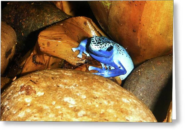Greeting Card featuring the photograph Blue Poison Dart Frog by Anthony Jones