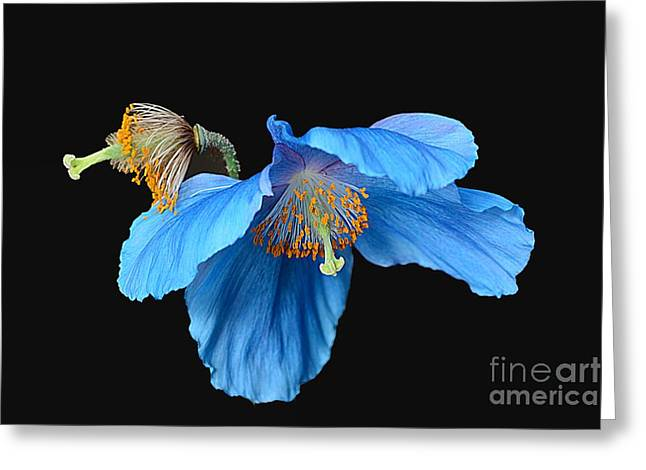 Blue Poppies Greeting Card by Cindy Manero