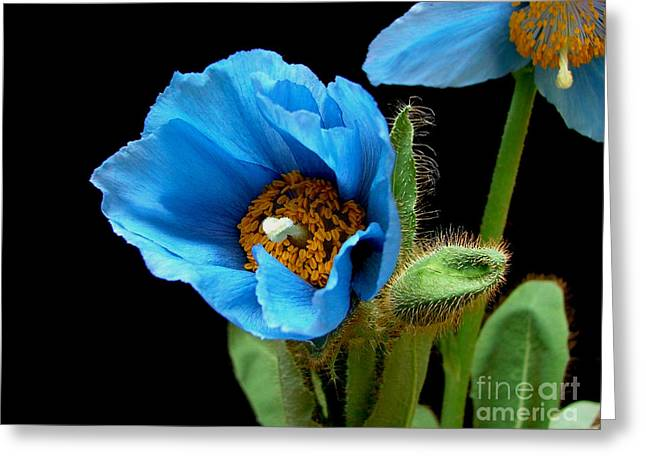 Blue Poppy Greeting Card by Robert Nankervis