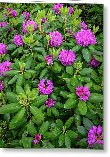Blue Ridge Mountains Rhododendron Blooming Greeting Card