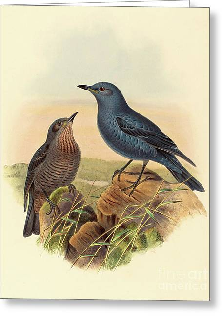 Blue Rockthrush Greeting Card by John Gould