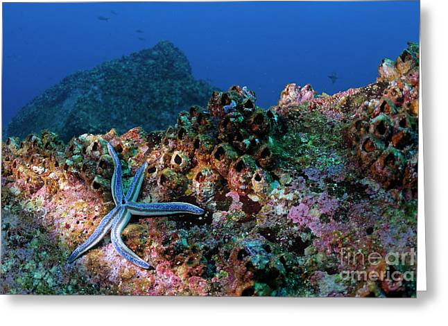 Blue Starfish On Rock Greeting Card by Sami Sarkis