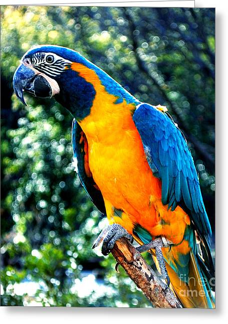 Blue Throated  Macaw 2 Greeting Card