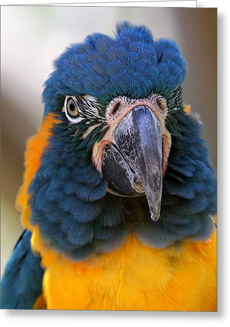 Blue-throated Macaw Close-up Greeting Card