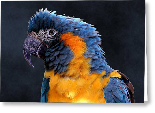 Blue-throated Macaw Profile Greeting Card