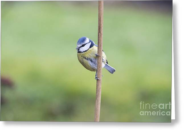 Blue Tit On A Garden Cane Greeting Card