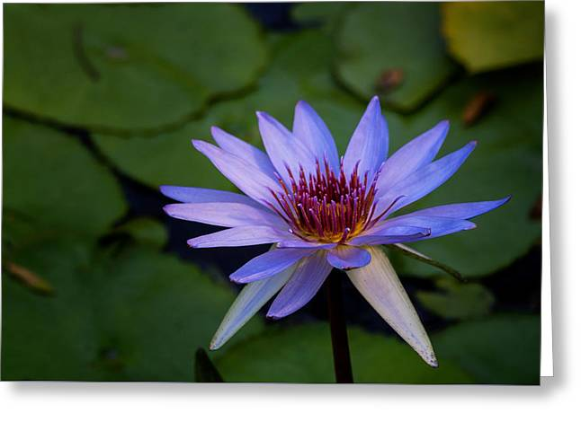 Blue Water Lily In Pond 2 Greeting Card by Brian Harig