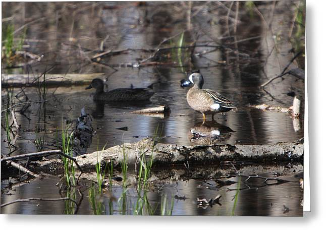 Blue Winged Teals Greeting Card by Dave Clark