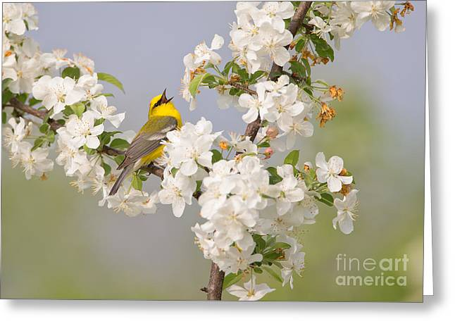 Blue-winged Warbler Greeting Card by Joshua Clark