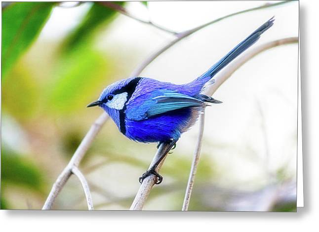 Blue Wren, Margaret River Greeting Card