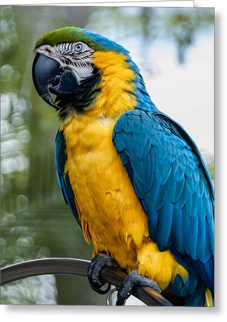 Blue Yellow Macaw No.1 Greeting Card by Mark Myhaver
