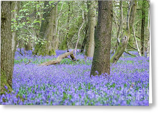 Bluebell Wood - Hyacinthoides Non-scripta - Surrey , England Greeting Card