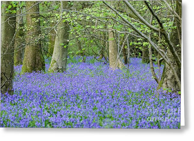 Bluebell Woodland Hyacinthoides Non-scripta, Surrey , England Greeting Card