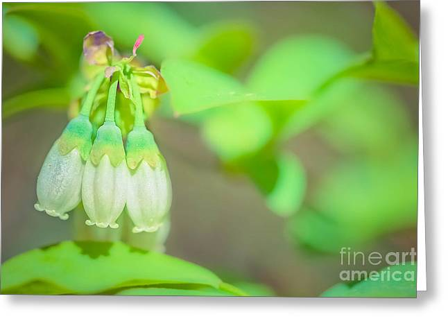 Blueberry Blooms Greeting Card by Kim Henderson