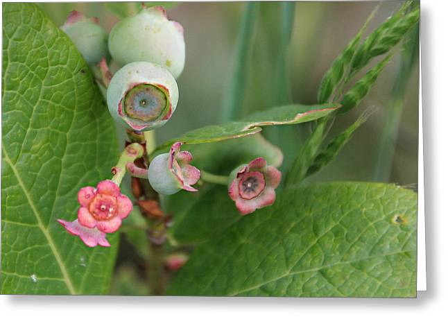 Blueberry Blossoms Greeting Card