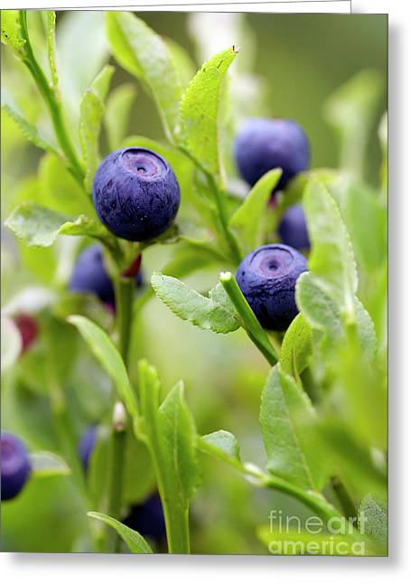 Blueberry Shrubs Greeting Card by Michal Boubin