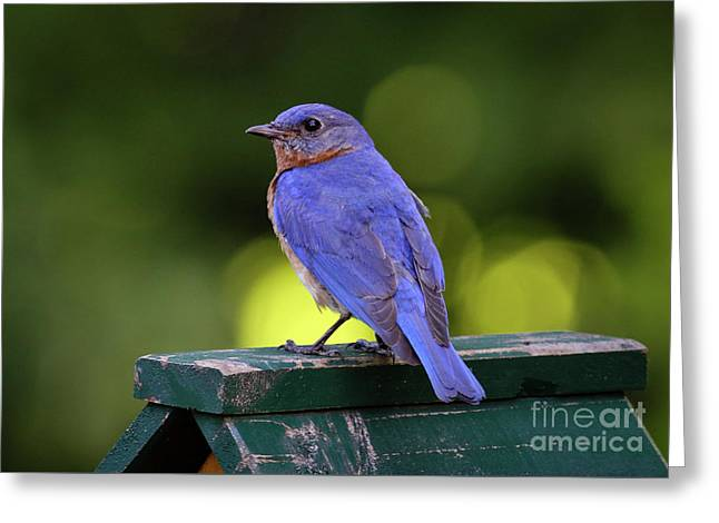 Greeting Card featuring the photograph Bluebird 0618162 by Douglas Stucky