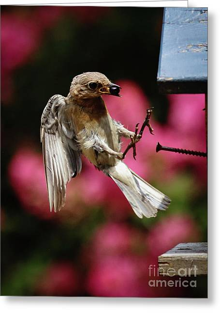 Greeting Card featuring the photograph Bluebird 0726162 by Douglas Stucky